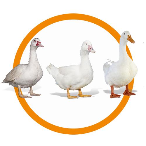 génétique canards grimaud frères