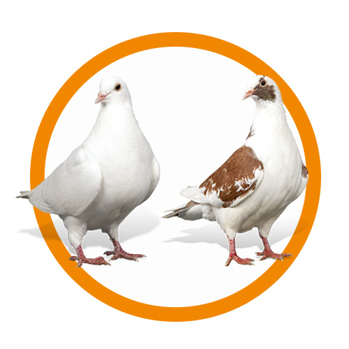 reproducteurs pigeons